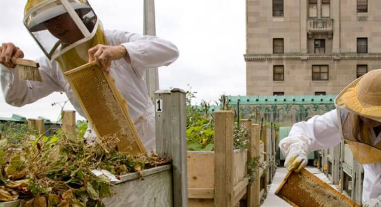 Fairmont Royal York rooftop honeybee hives